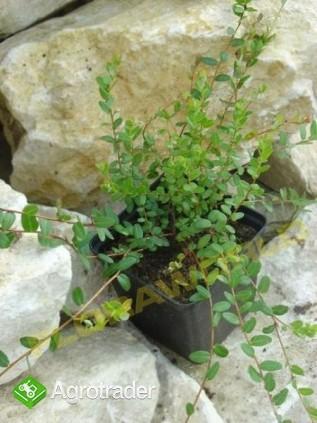 Borówka amrykańska, żurawina  - zadbaj o swoje z - zdjęcie 2