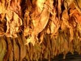 Liście tytoniu 663-535-221,gatunek I klasa