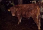 sprzedam 10 mięsnych byczków w wadze 250-300 kg