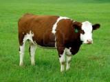 Sprzedam krowy, jałówki
