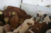 Sprzedaż Cieląt Mięsnych.......