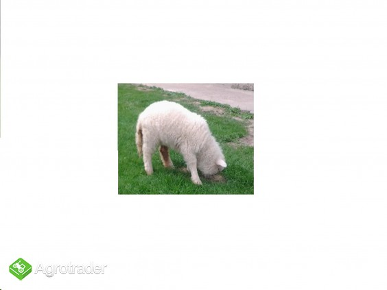 młode owieczki - zdjęcie 1