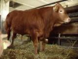 Byki i jałówki odsadki rasy Limousine czystorasowe