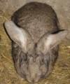 Sprzedam króliki - 2 samce i samicę