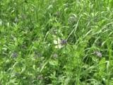 Lucerna siewna - nasiona