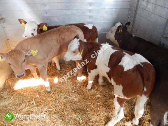 Byczki cielaki mięsne cielęta www.sprzedazcielat.pl