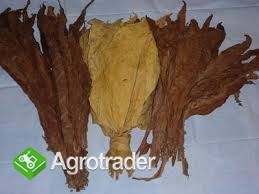 Liście tytoniu Virginia Burley Świętokrzyskie