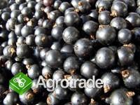 Sprzedam owoce czarnej porzeczki