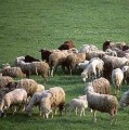 Ukraina.Owce kozy miesne 140 zl/szt,jagniecina 3 zl/kg.10tys.ha,mleko