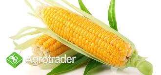 Sucha kukurydza
