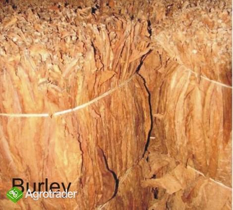 Liście tytoniu Virginia Gold,Burley TEGOROCZNE - zdjęcie 1