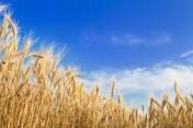 kupię pszenicę, żyto i pszenżyto  i inne zboże