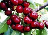 Świeże czereśnie prosto z sadu