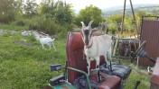 Sprzedam mleko kozie