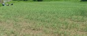 czosnek polski, wiosenny, krajowy, odmiana Jarus, różne wielkości, eco