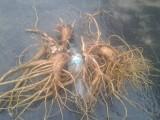 Nasiona prawoślazu , łopianu , arcydzięgla , jeżówki , babki lanc.