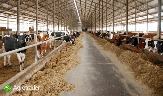 Krowy i jałówki HF holenderskie - zdjęcie 1