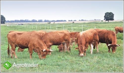 Sprzedam krowy i jałówki cielne rasy mięsnej LIMOUSYNE
