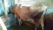 Krowa cielna rasy JE
