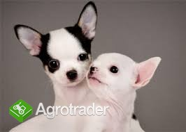 Gesunde Chihuahua Welpen zur Annahme)
