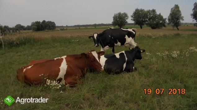 Krowy + Jałówki - Stado w likwidacji  - zdjęcie 4