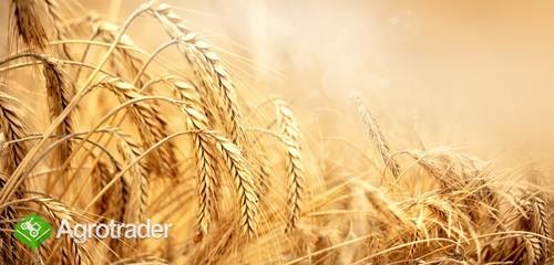 Sprzedam pszenicę konsumpcyjną wysokie parametry