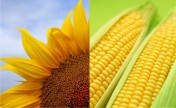 kukurydze, nasiona słonecznika
