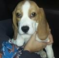 Beagle z rodowodem ZKwP/FCI