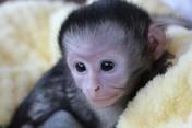 Pigmejowy pazurczatka i kapucynka Małpy i inne małpy Dostępny
