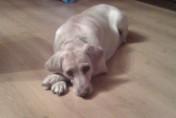 Labrador szuka nowego Właściciela