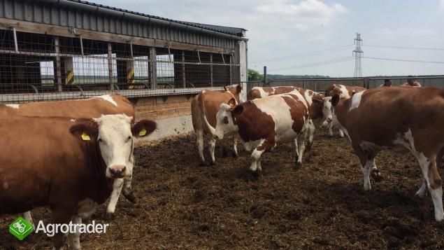 Krowy i jałówki simentalskie, simentalery z linii mlecznej, super - zdjęcie 3
