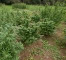 nasiona     thc green family seeds kilka odmian dla kolekcjonerów