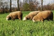 Sprzedam owce olkuskie