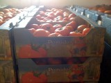 Tomatoes export, Tomatoes from Poland