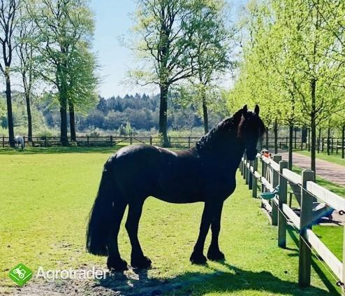 Piękna końska czarna klacz fryzyjska już dostępna - zdjęcie 5