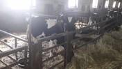 byczki HF do hodowli