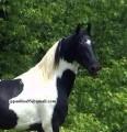 Piękne białe i czarne Pinto Ogier konia do przyjęc