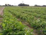 Orzech włoski sadzonki