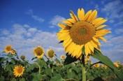 Sprzedam nasienie słonecznika
