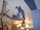 Szary afrykańskich papug mówić do rodziny miłością
