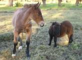 konie-szlachetne, zimnokrwiste, kuce