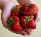 Sadzonki truskawek  odmiany deserowe i przemyslowe zielone i