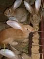 Sprzedam króliki,samicy.