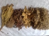 liscie tytoniu tytoń virginia burley żyła liście